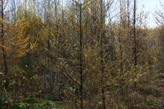 Young larches. Royalty Free Stock Images