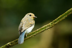 Young Large Blue Flycatcher Stock Photo