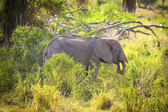 Young large elephant eating grass in Serengeti Royalty Free Stock Image