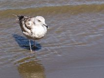 Young Laughing Gull Stock Image
