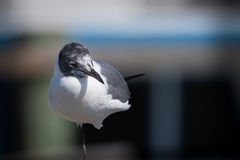 Young laughing gull with one leg up close Stock Photography