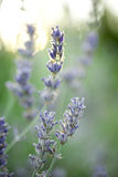 Young lavender Stock Images