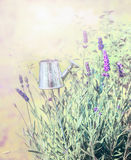 Young lavender in garden herbs Stock Photo