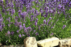 Young lavender with petal flowers. Royalty Free Stock Photos