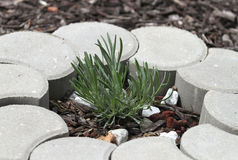 Young Lavender Plant in garden with bricks. Young fresh green lavender plant in a garden with cement landscaping blocks in a circle stock photos