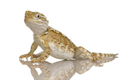 Young Lawson's dragon - Pogona henrylawsoni Royalty Free Stock Images