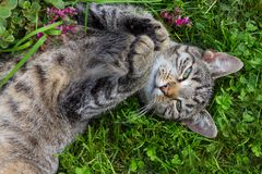 Young lazy cat laying on her back. Royalty Free Stock Image