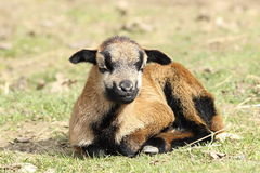 Young lazy goat Royalty Free Stock Images