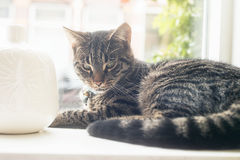Young lazy tabby cat lying in window sill. Young lazy tabby cat lying in a window sill Royalty Free Stock Photo