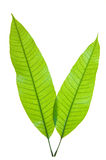 Young leaf Stock Image