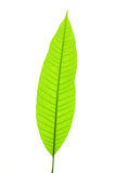 Young leaf Royalty Free Stock Photography