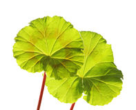 Young leaf Royalty Free Stock Photo