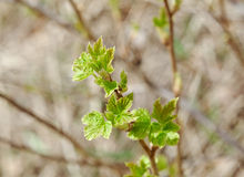 Young Leaf  blackberry Stock Photos
