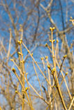 Young leaf buds. On blue sky and branches background in early spring Royalty Free Stock Photo