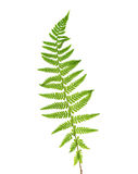 Young leaf of fern Royalty Free Stock Photo