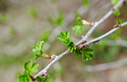 Young Leaf gooseberry Royalty Free Stock Photos