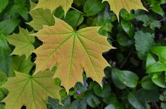 Young leaf of a maple. Juicy leaf on a very young tree of a maple royalty free stock image
