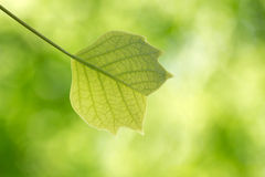 Young leaf of tulip tree in the forest Stock Image