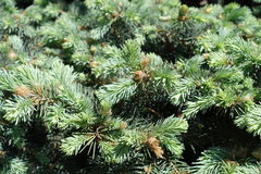 Young leafage on Picea pungens branches in spring. Young leafage on Picea pungens tree branches in spring Royalty Free Stock Photo