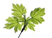 Young leaves Stock Image