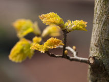 Young leaves. On a branche telling that spring is coming Royalty Free Stock Photo