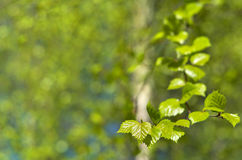 Young leaves of a birch Royalty Free Stock Images