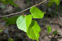Young leaves of birch. Young leaves of a birch blind with the sated greens on a spring sunny day Royalty Free Stock Photos