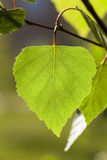 Young leaves of birch Stock Image