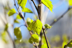 Young leaves of birch Royalty Free Stock Photography