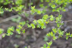 Young leaves on birch. Young spring shoots. stock images