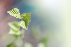 Young leaves of birch Royalty Free Stock Photo