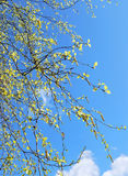 Young leaves of birch tree Stock Photo