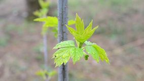 Young leaves of box elder tree swaying in wind. Acer negundo. Close-up of young green leaves of box elder tree swaying stirred by wind in spring on blurred stock footage