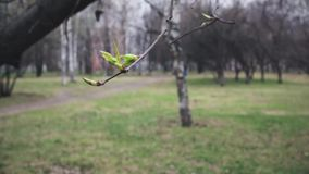 Young leaves on the branch in early spring swaying in the wind. Spring park on background.  stock footage