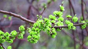 Young leaves on a branch stock video