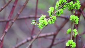 Young leaves on a branch stock video footage