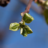 Young leaves on the branches of the Apple tree Stock Image