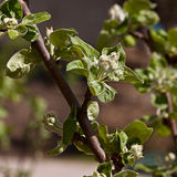 Young leaves on the branches of the Apple tree Stock Photography