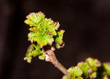 Young leaves on the branches of currant. In Garten at spring Stock Photos