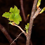 Young leaves on the branches of currant. In Garten at spring Royalty Free Stock Photos