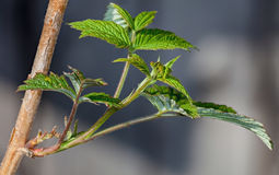 Young leaves on the branches of currant Royalty Free Stock Photos