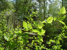 Young leaves in sunshine royalty free stock photo
