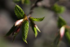 Young leaves and buds of hornbeam bonsai Carpinus Betulus Royalty Free Stock Image