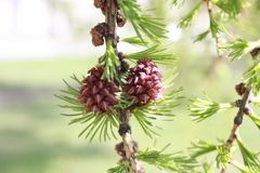 Young leaves and buds of larch trees in the  Park stock photography