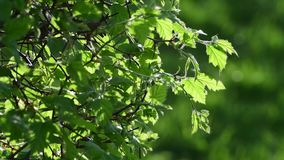 Young leaves of bush in a backlight. Young leaves of a bush in a backlight stock video footage