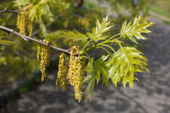 Young leaves and catkins of northern red oak. In spring Royalty Free Stock Image