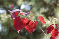 Red leaves of cercis canadensis. The young leaves of cercis canadensis are red and beautiful Stock Image