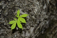 Young leaves of chestnut tree, in spring Royalty Free Stock Images