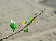 Young leaves chokeberry Stock Photo