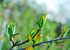 Young leaves chokeberry Royalty Free Stock Photos
